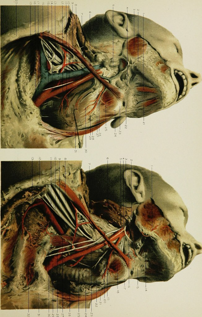 Image From Page 284 Of Regional Anatomy In Its Relation T Flickr