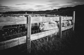 Sheep gathering in Vogar Iceland | by AdalsteinnSvanHjelm