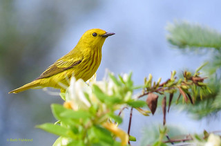 Yellow Warbler | by Beth Fishkind