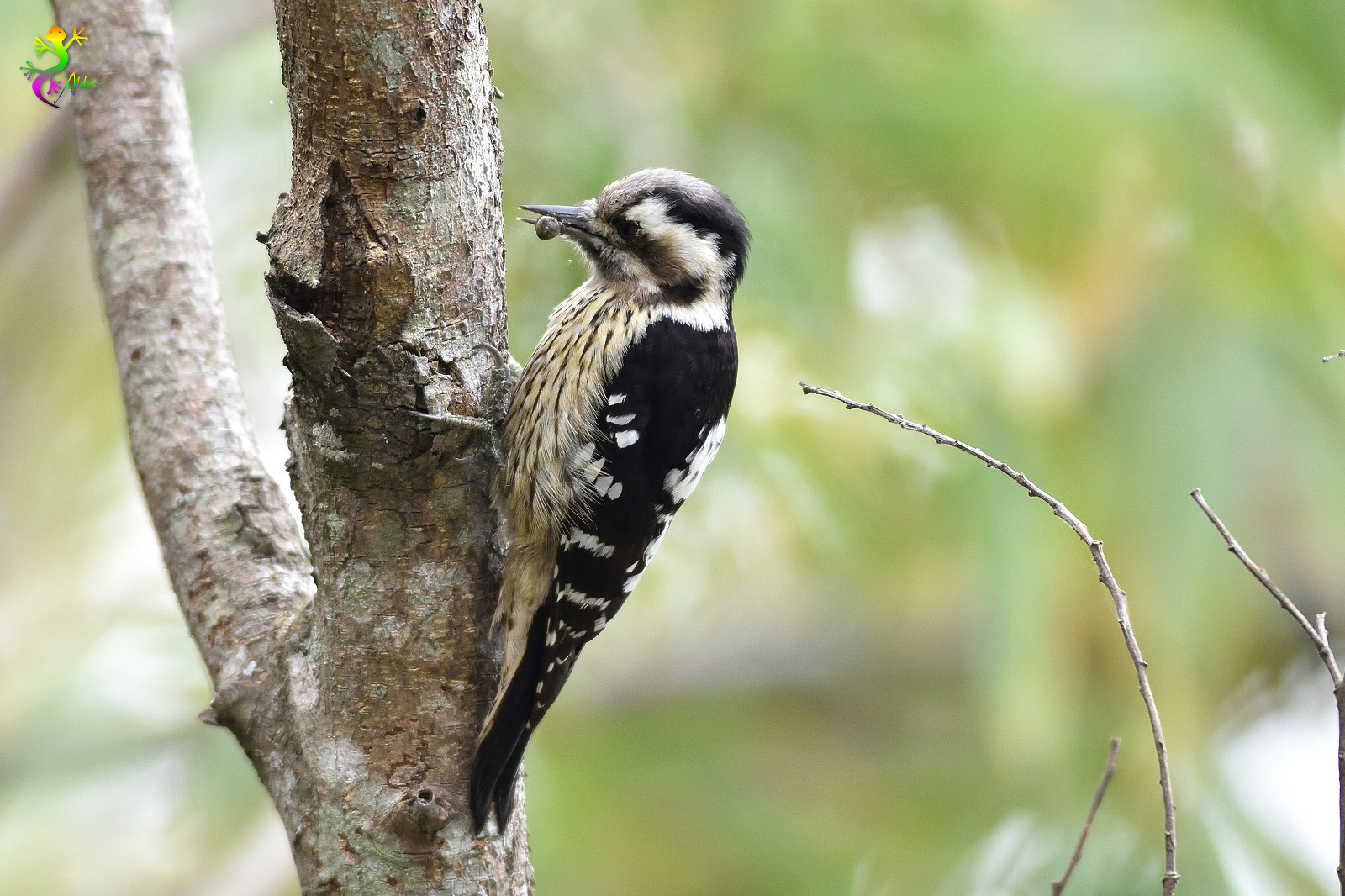 Grey-headed Pygmy Woodpecker_0406