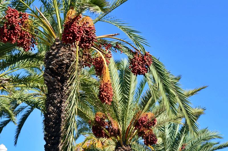 rhodes-palms-palmtrees-palmuja-rodos