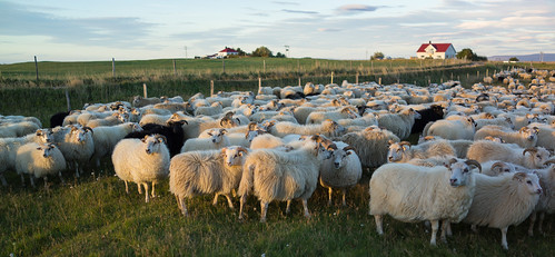 Sheep gathering in Vogar in North Iceland | by AdalsteinnSvanHjelm