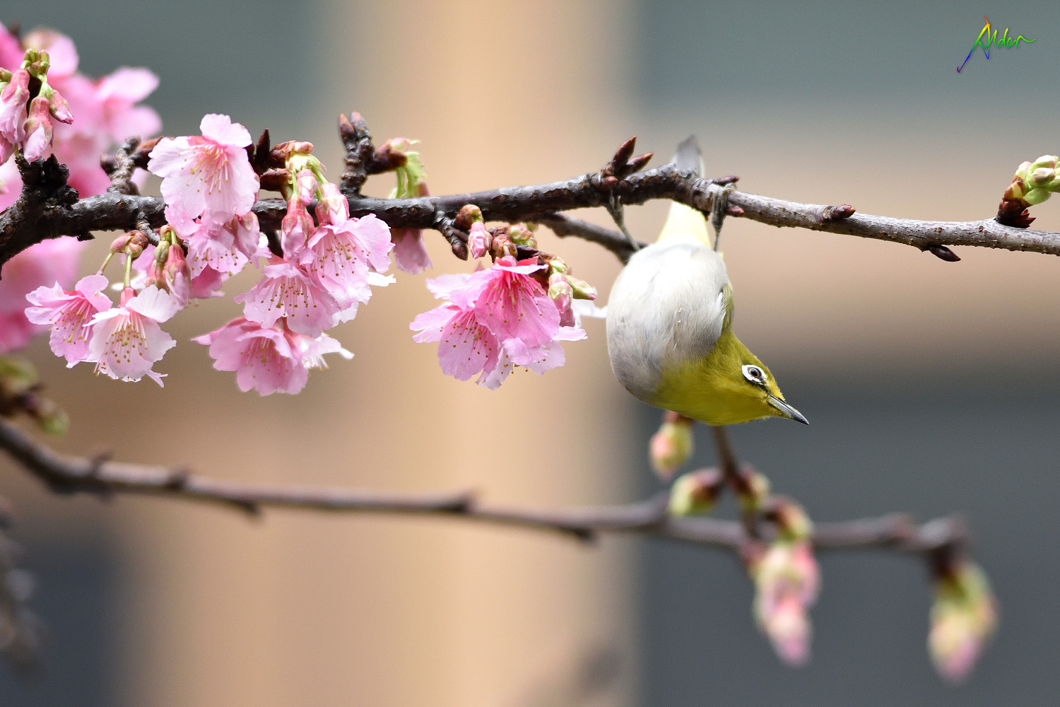 Sakura_White-eye_7840