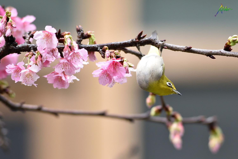 Sakura_White-eye_7840