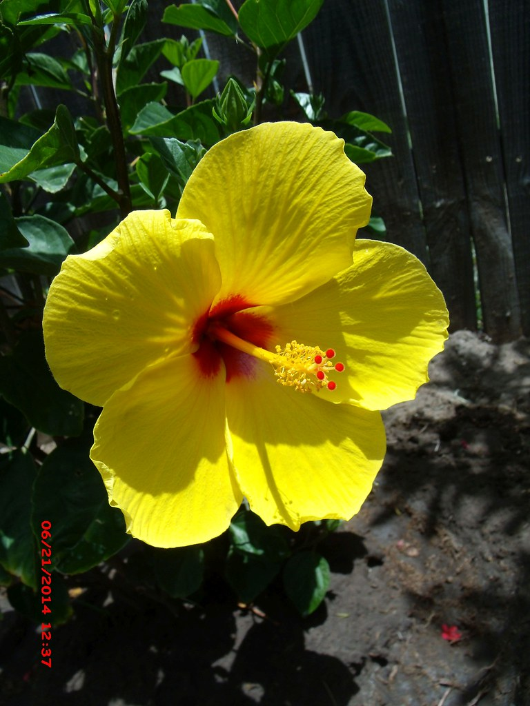 Single Yellow Hibiscus Flower With A Dark Red Center Flickr