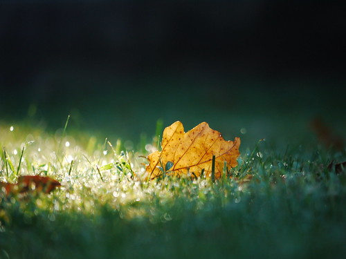 leaf & morning dew on the lawn in september | by Keithius