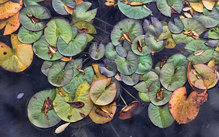 Autumn Lily Pads @ Boffins Garden  - September 23 2014 | by Kyla Duhamel