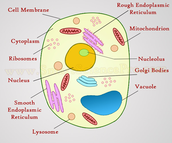 Diagram of plant and animal cell under microscope diy enthusiasts structure of animal cell and plant cell under microscope flickr rh flickr com draw the diagram of a typical plant and animal cell as seen under the ccuart Image collections