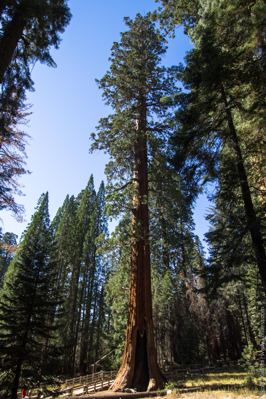 Sequoia-82