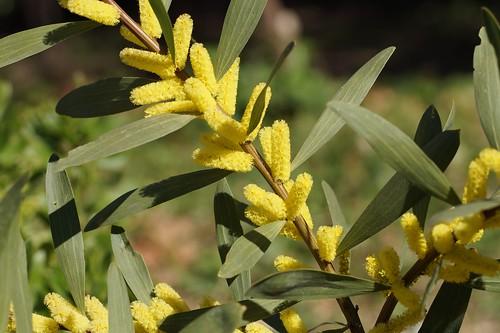 Acacia longifolia 33111091236_38e2346273
