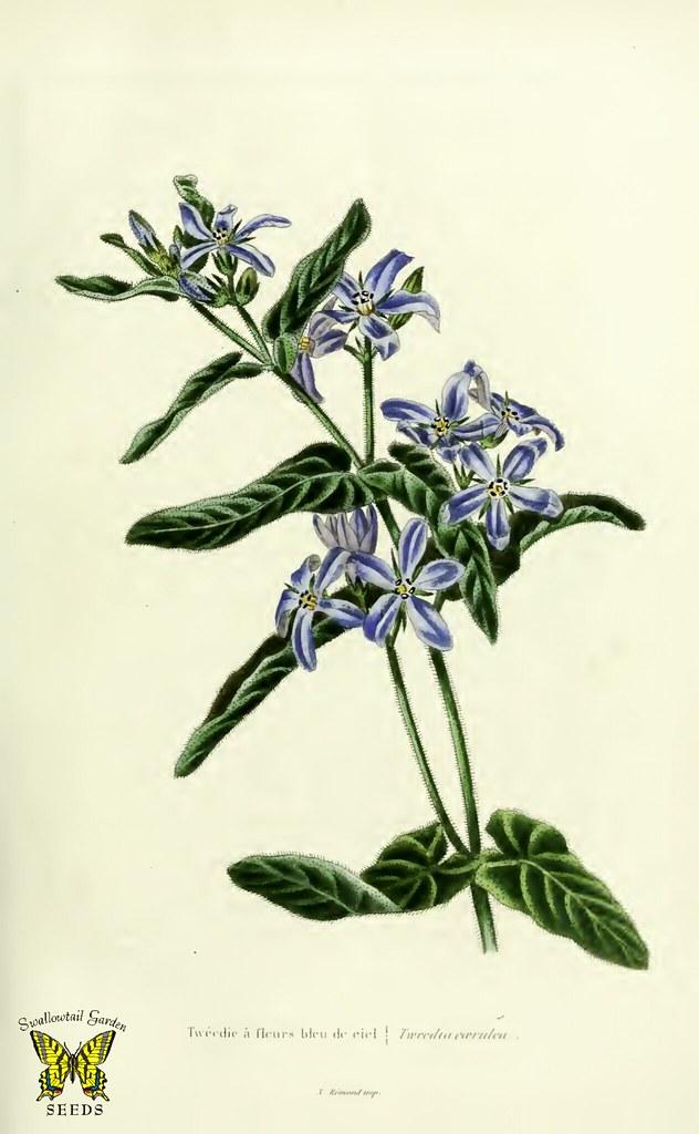Blue flowered milkweed tweedia caerulea beautiful star flickr beautiful star shaped true blue flowers mightylinksfo