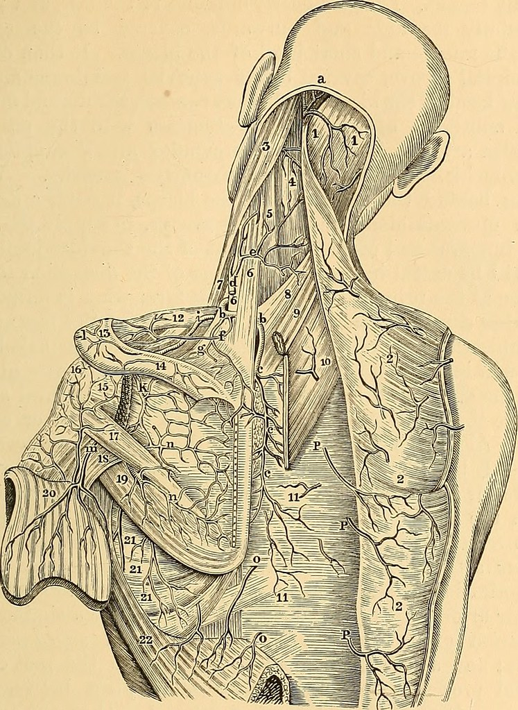 Image From Page 168 Of Anatomy Of The Arteries Of The Hum Flickr