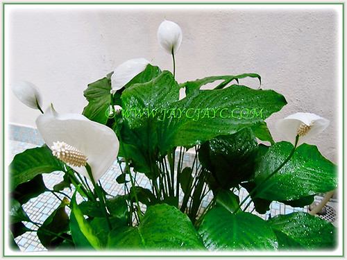 5 snow-white flowers of Spathiphyllum spp. 'Wallisii' in a pot, 12 March 2017