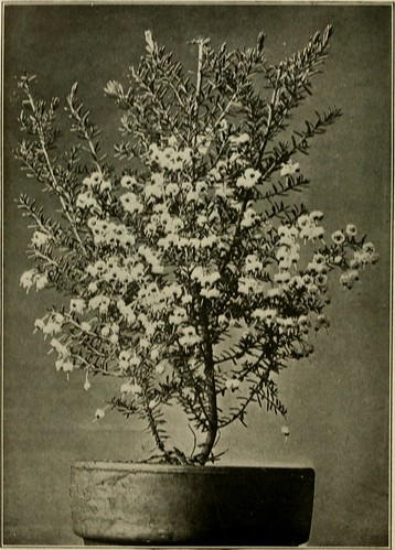 "Image from page 119 of ""Plant culture; a working handbook of every day practice for all who grow flowering and ornamental plants in the garden and greenhouse"" (1921) 
