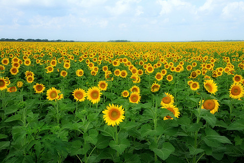 Sunflower Field 02 | by TexasEagle