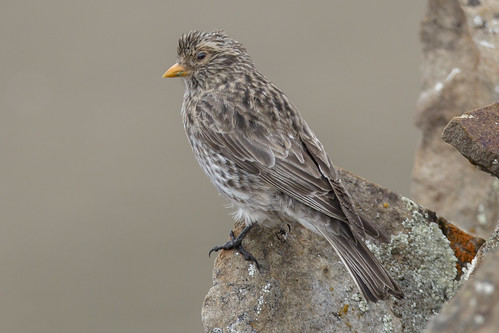 Female Roborovski's Rosefinch - Kozlowia roborowskii - 藏雀 | by Paul B Jones