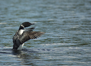 Common Loon | by lisadonoghue(away)