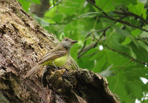 Great-crested Flycatcher at nest cavity | by BirdFancier01