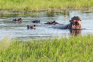 Hippos in der Kanana Concession