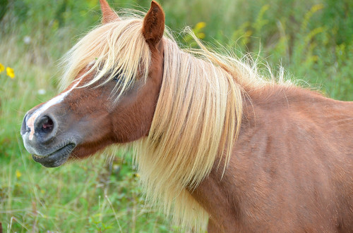 Wild Pony long mane GH Grayson highlands State Park | by vastateparksstaff