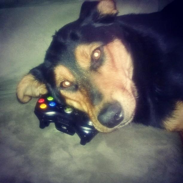 dante o cachorro gamer dog gamer gamerdog xbox360 flickr