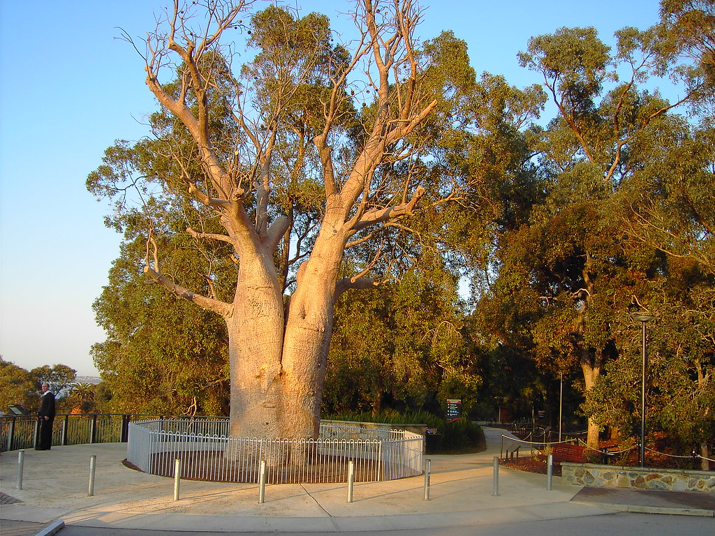 Kings Park gardens Perth. Transplanted bottle tree. Boab t… | Flickr
