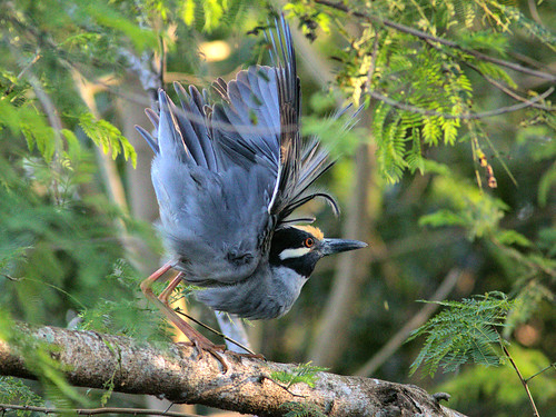 Yellow-crowned Night-Heron male display 01-20170302