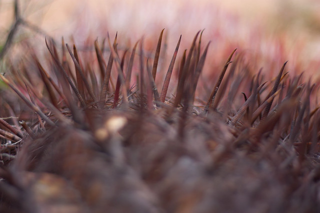 Barrel Cactus Needles