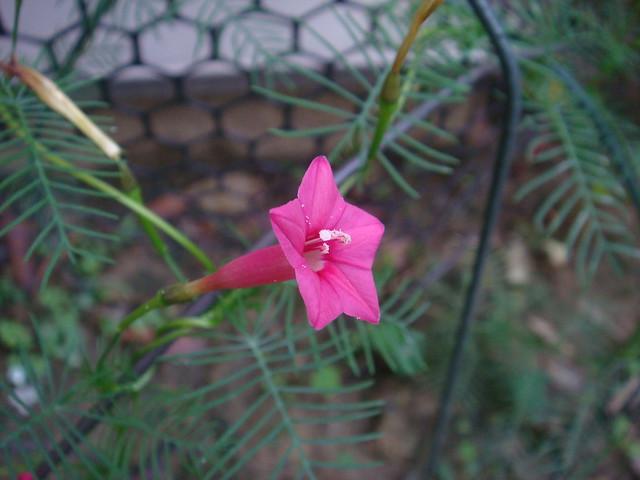 蔦蘿Ipomoea multifida 459