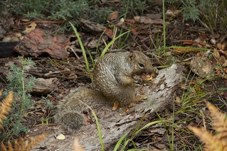 Rock squirrel | by greggburch