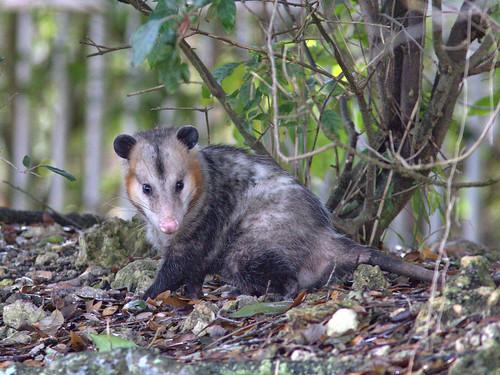 Virginia Opossum 01-20170313