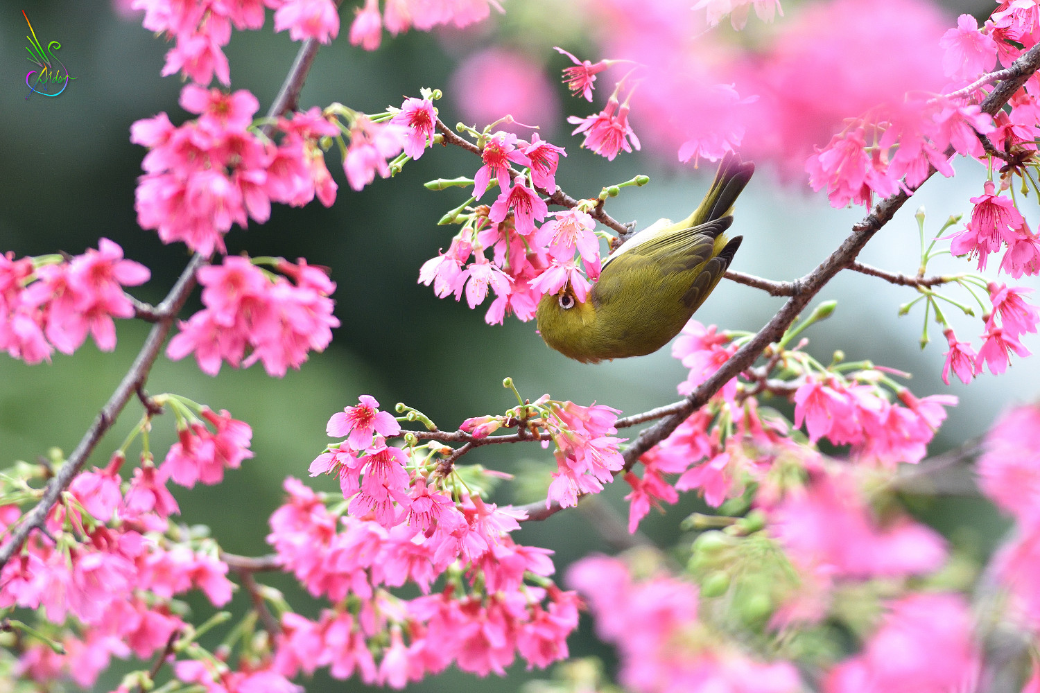Sakura_White-eye_6093