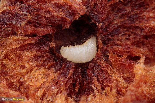 Oak gall wasp larva IV