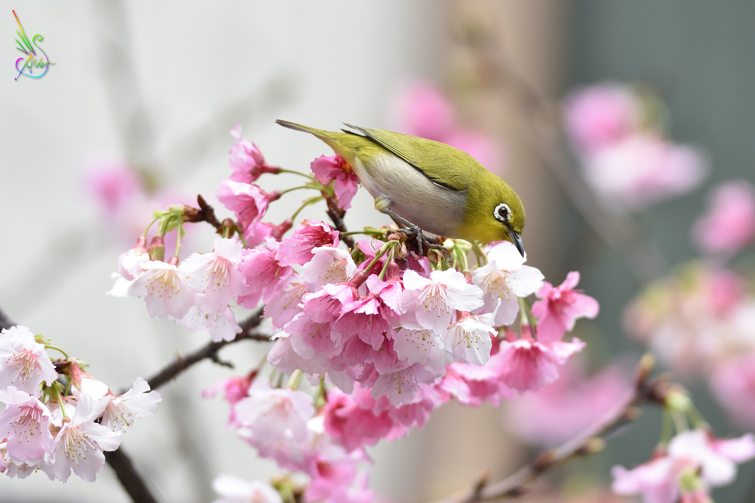 Sakura_White-eye_9984