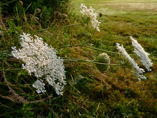 Early morning Queen Anne's Lace | by Dendroica cerulea
