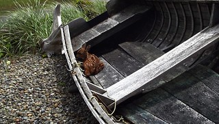 Fawn in Old Boat | by cjoyslattery
