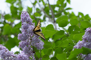 Lilac and Swallowtail | by Andrea Pokrzywinski