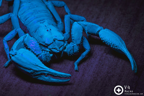 Giant Forest Scorpion (Heterometrus spinifer) glowing under UV light | by PF T.J.