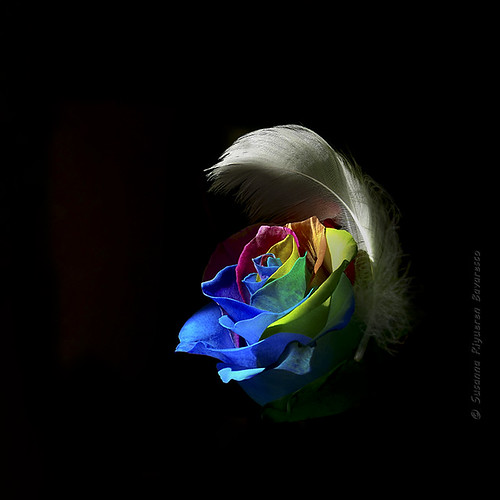 Rainbow Rose & White Feather