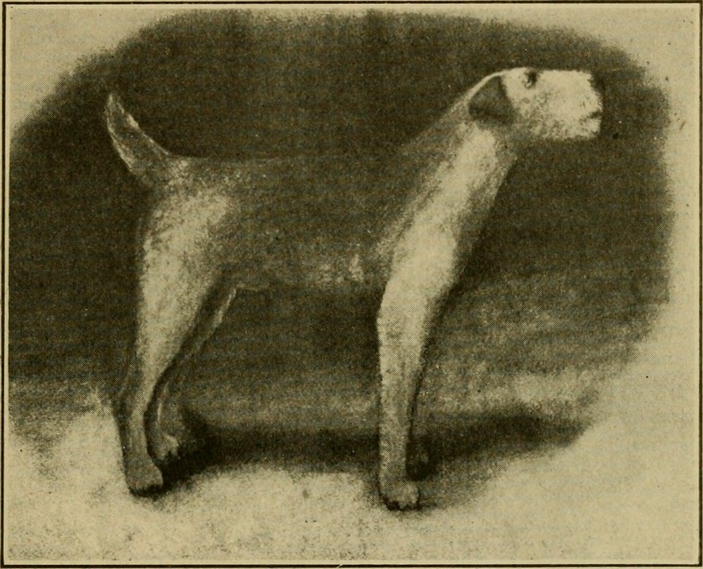 Image From Page 30 Of The Airedale Terrier Standard Simpl Flickr Wiring Simplified Book 1921