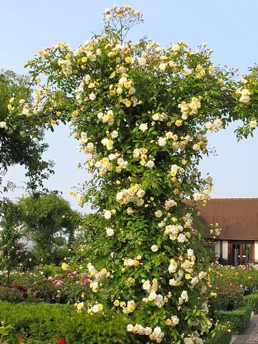 Jasmine Terrace: Rambling Rose 'Malvern Hills'