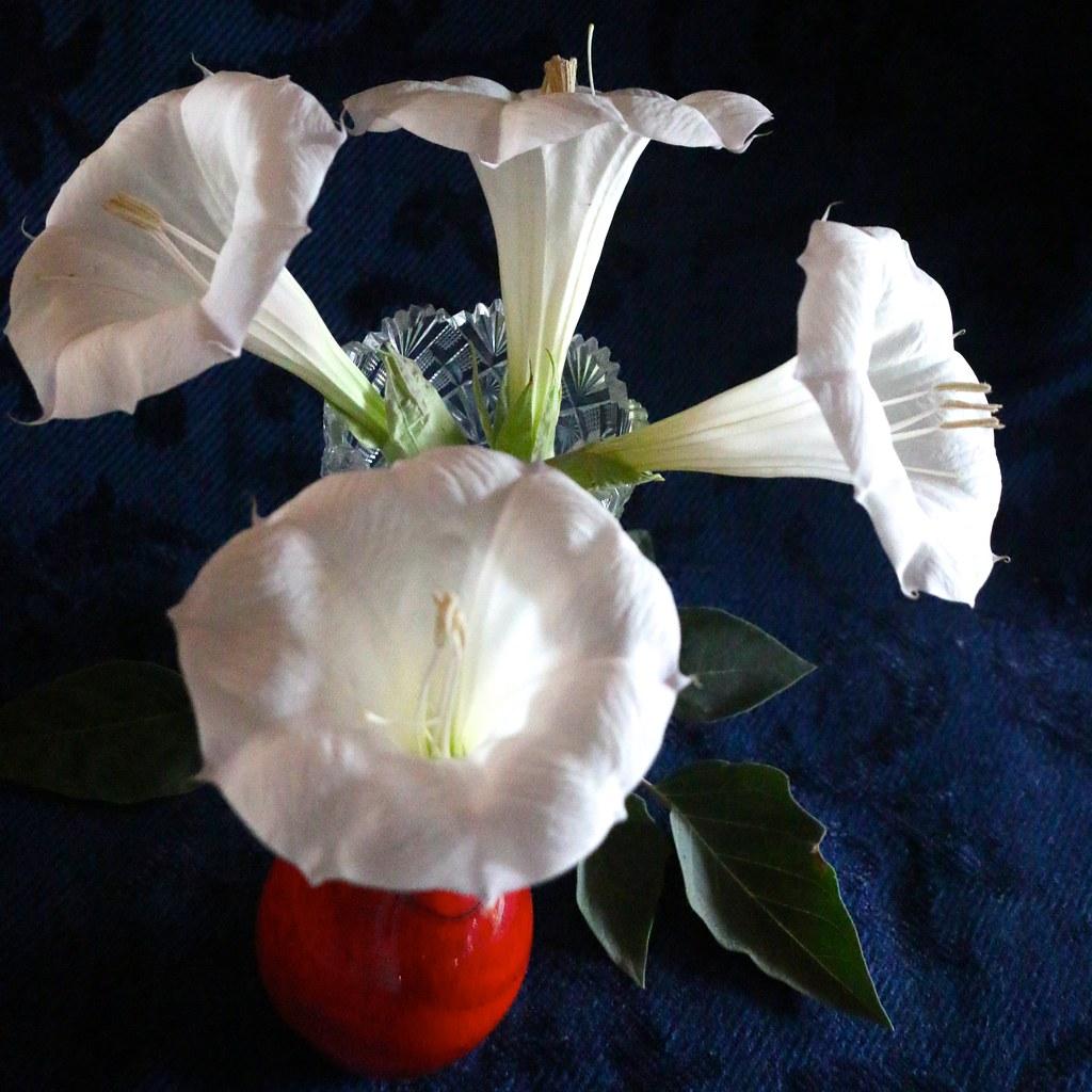 Bright white datura flowers are best enjoyed cut and place flickr bright white datura flowers are best enjoyed cut and placed in vases by chic bee mightylinksfo