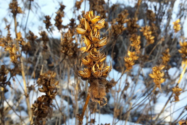 brown turtlehead seedhead in the sunlight, with other turtleheads in the shade in the background and snow