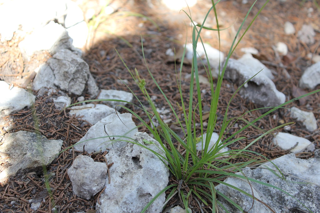 Carex Texensis Casey Zillman Flickr