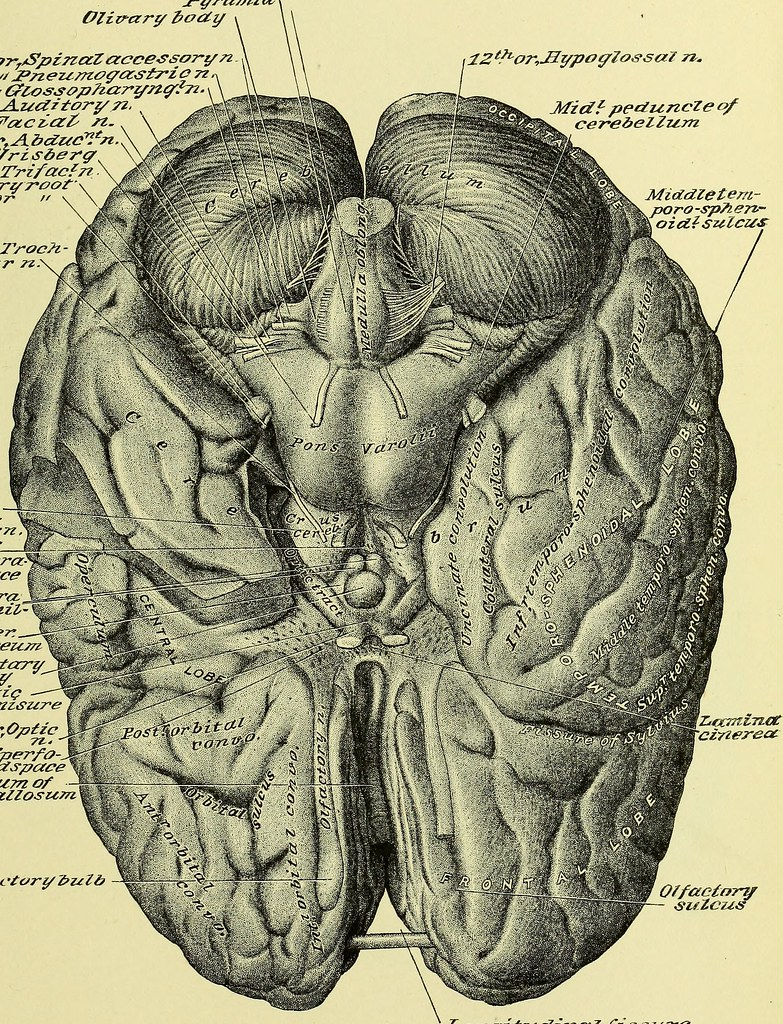 Image From Page 882 Of Practical Human Anatomy Electroni Flickr