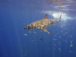 Great White Shark | by Elias Levy