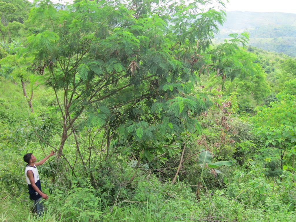 ipil ipil extract One year old ipil-ipil trees in my backyard.