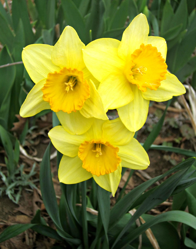 Spring Flowers Daffodils Ali Eminov Flickr