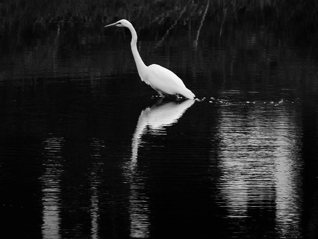 Great Egret On Prowl >> Great Egret On The Prowl Still At Stricker S Pond Yesterda Flickr
