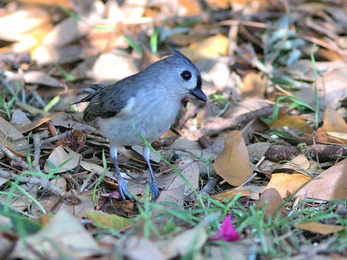 Tufted Titmouse 03-20170306